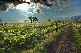 Vines at Constantia Groot, in Cape Town